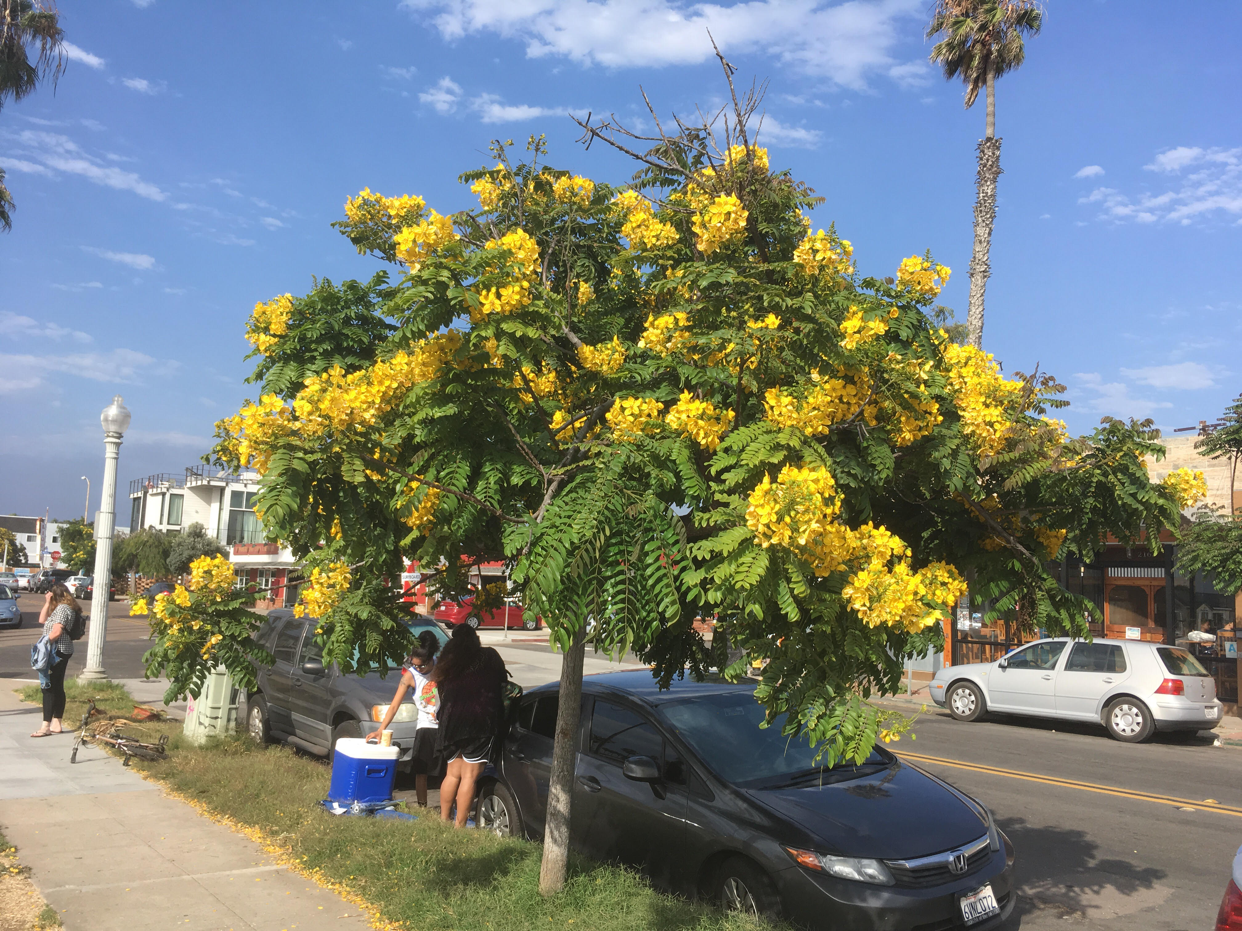Tree with yellow flowers in ocean beach ca 92107 ocean beach tree with yellow flowers in ocean beach mightylinksfo