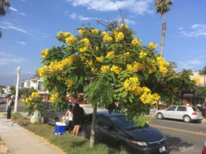 Tree with Yellow Flowers in Ocean Beach